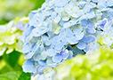flower_ajisai
