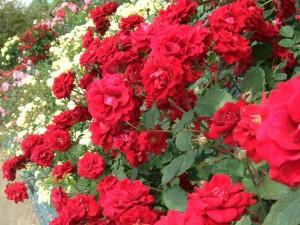 2009-5-26_kfc_rose_1