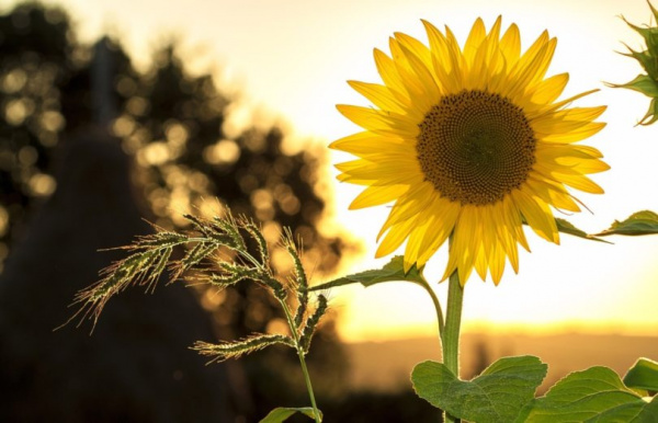 sunflower-810x522